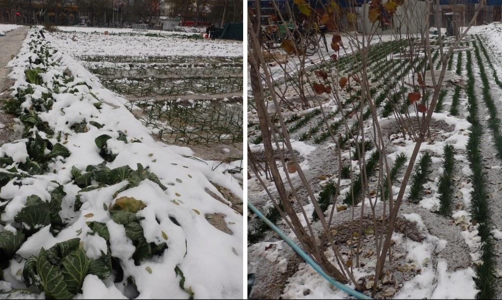 Cultivando en inverno un huerto urbano en Pekín