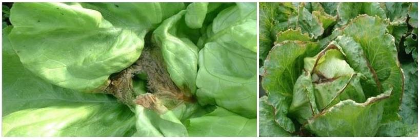 Lechugas enfermas con Botritis (izquierda) y con Mildiu (derecha).