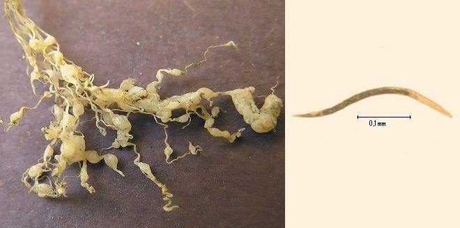 Ataque de nematodos en raices