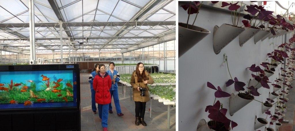 Oxalis triangularis en invernadero escolar en Beijing