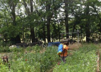 Combatiendo una plaga de pulgones con un preparado de jabón de potasa, uno de los insecticidas ecológicos