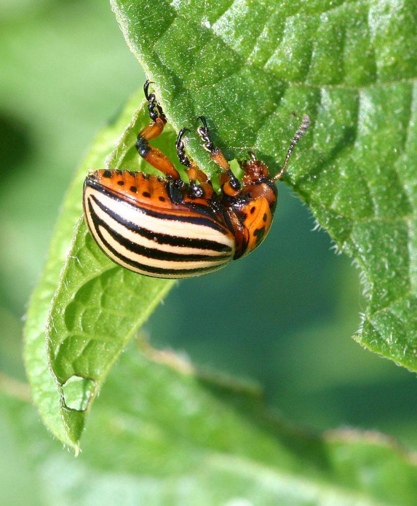 Escarabajo de la patata (Fuente: www.gaiaestarrun.wordpress.com)