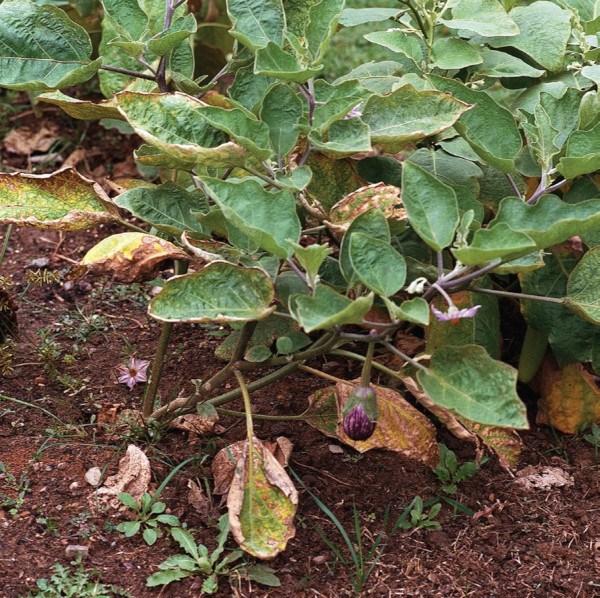Planta de berenjena atacada por Verticillium sp. Fuente: www.growingmagazine.com