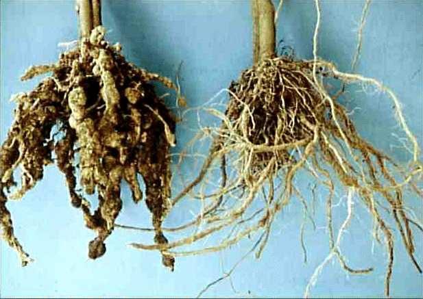 Comparación entre las raíces de una planta sana (derecha) y una planta infectada por nematodos (izquierda). (Fuente:www.infonet-biovision.org)