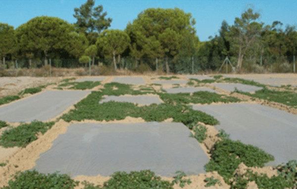 La biosolarización, una técnica que emplea una cubierta de plástico para desinfectar el suelo