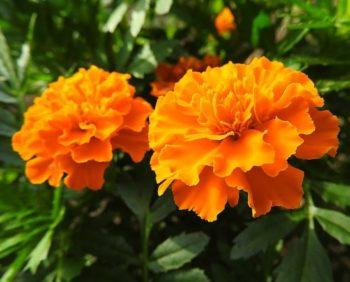 Flores del huerto: tagetes, una de las plantas útiles para el huerto