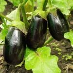 BERENJENA: Cómo cultivarlas en el huerto
