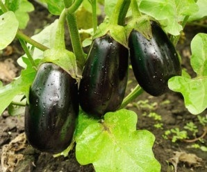 three big purple eggplants growing