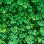 3 Abonos verdes interesantes para el Huerto y los Frutales