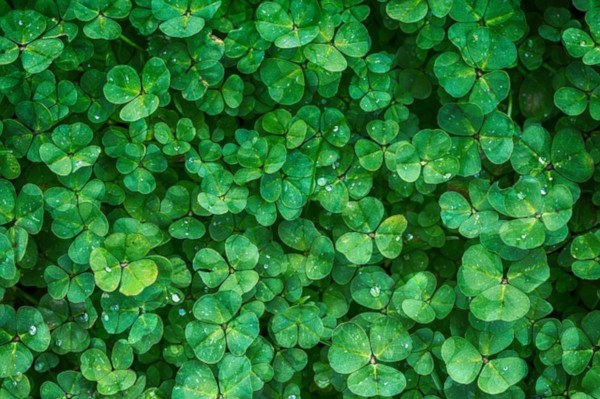 Abonos verdes para abonar el huerto ecológico