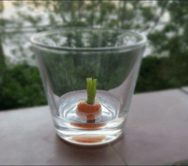 Cómo recrecer zanahoria