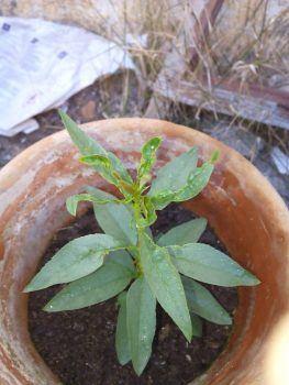 Plaga en almendro: hojas enrolladas