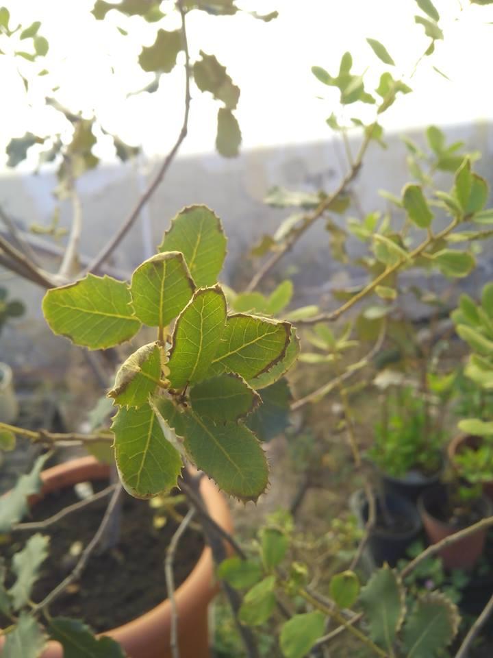 hojas de encinas con plaga