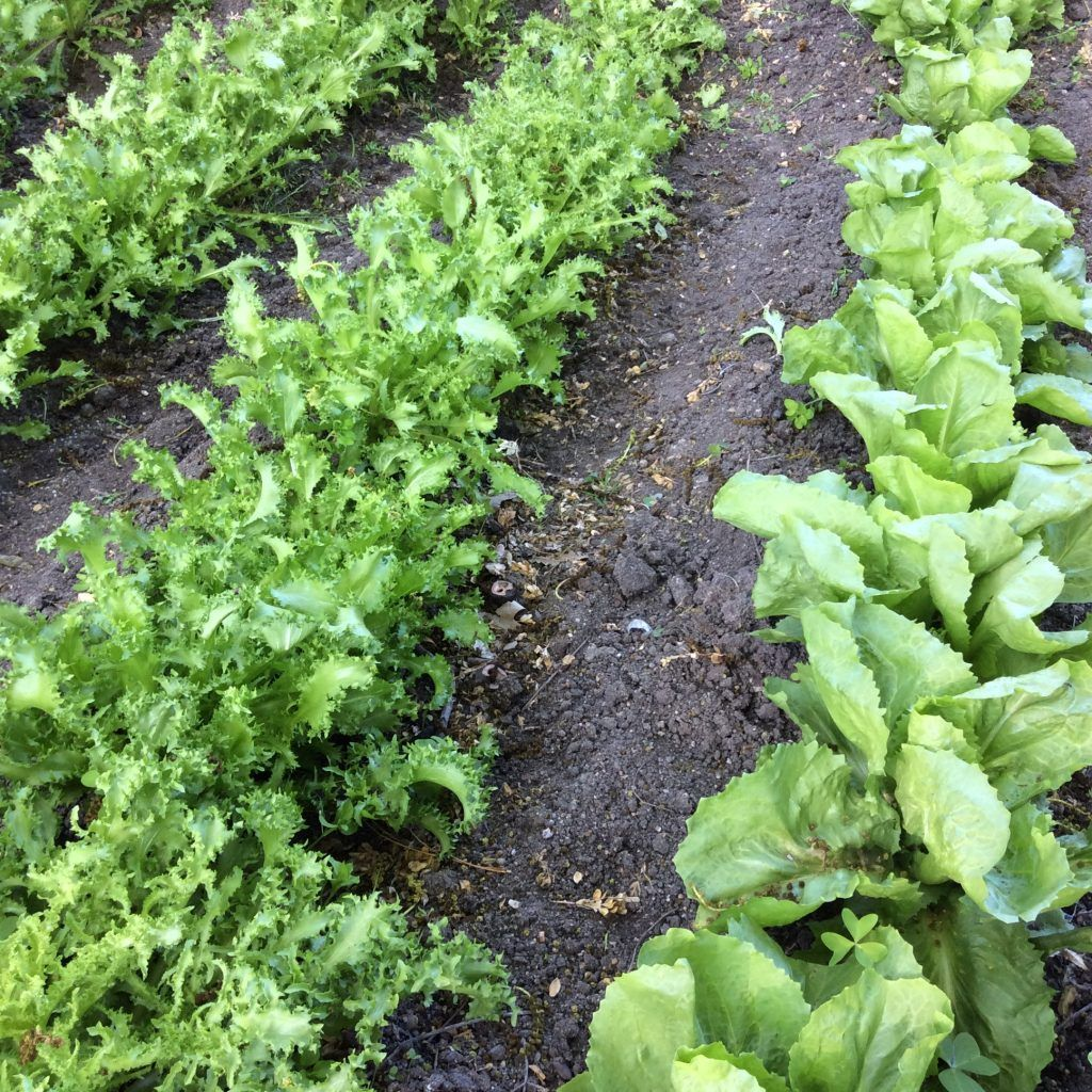 Lechuga 6 plagas y enfermedades habituales for Aspersores para riego de jardin