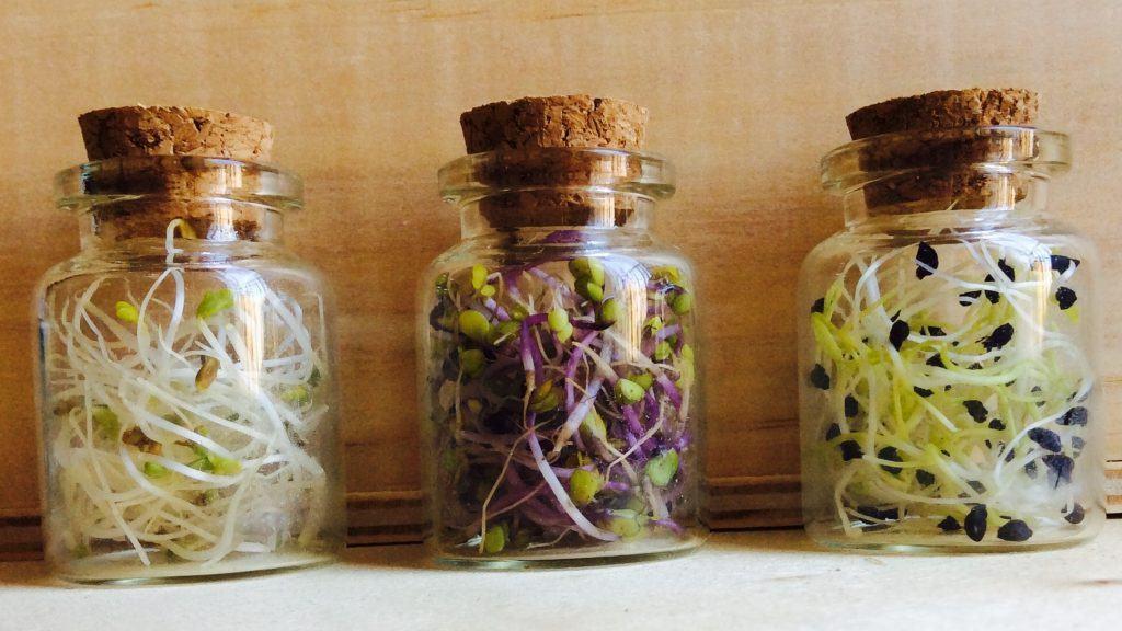 germinado de cebolla col y alfalfa
