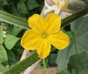 Flor de pepino