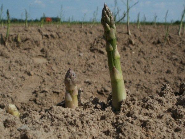 Cómo cultivar espárragos