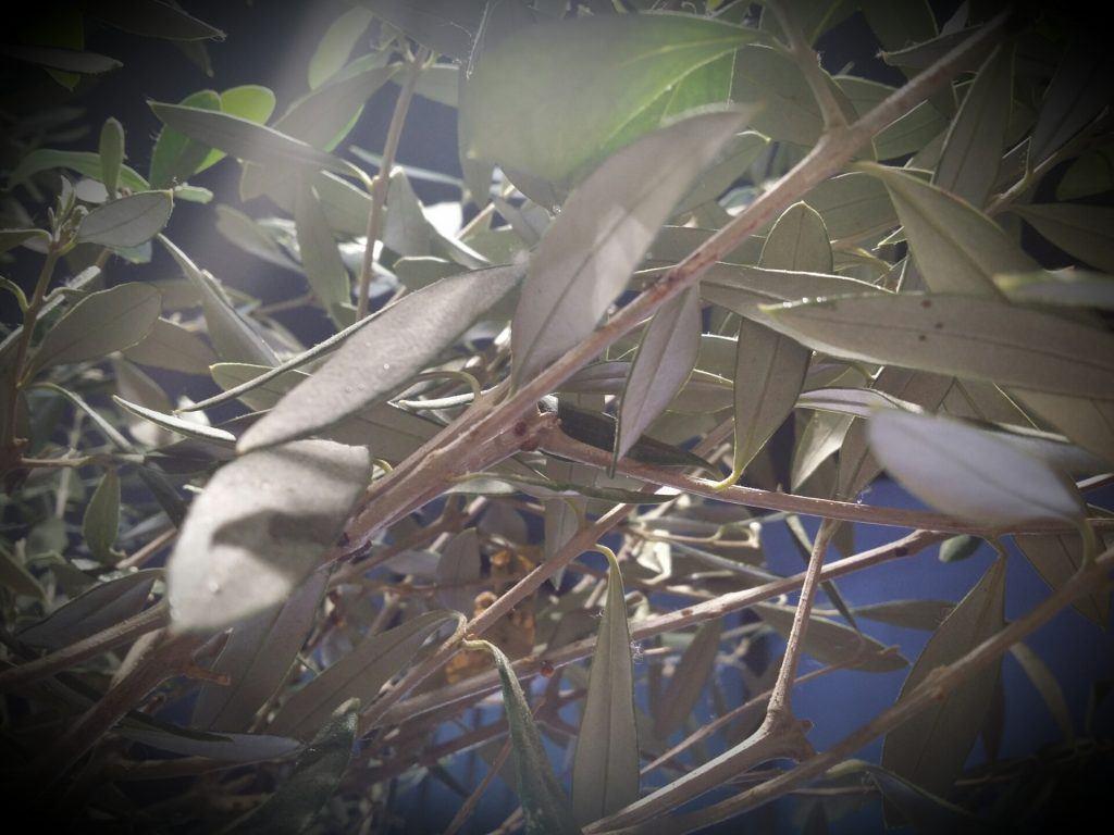 olivo en la huerta