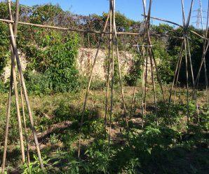 tomates en el huerto del Mireia