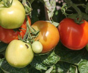 Tomates madurando en el huerto