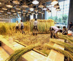 Empleados del edificio recogiendo y conformando las gavillas de arroz