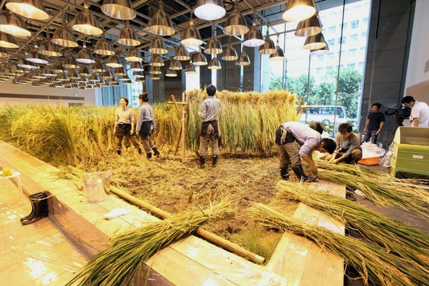 Agricultura urbana en Japón. Cultivando arroz en la oficina