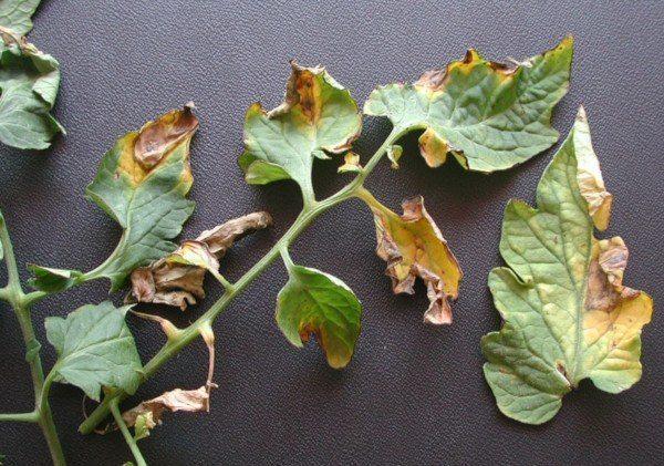 Planta atacada por Verticillium dahliae (Fuente: www.chileplanet.eu)