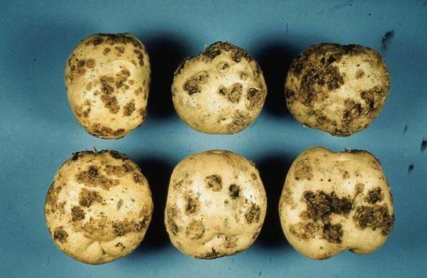 Patatas infectadas por Streptomyces scabies o sarna común.