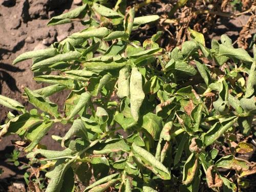 Enrollamiento de hojas producido por PLRV (Fuente: www.promedmail.org)