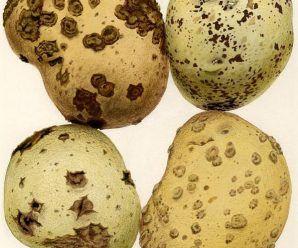 Pústulas negras en patata producidas por el hongo Rhizoctonia solani o viruela de la patata (Fuente: www.tecnicoagricola.es)