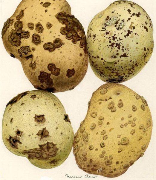 Pústulas negras en patata producidas por el hongo Rhizoctonia solani o viruela de la patata