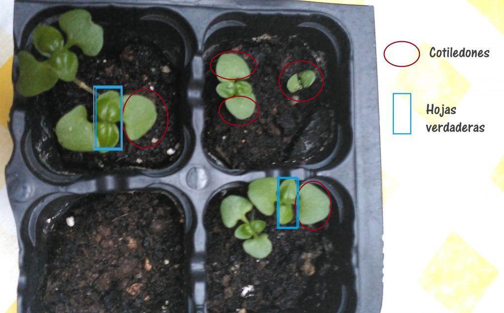 cuidar los semillero de aromáticas. Cotiledones y hojas verdaderas