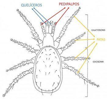 Morfología general de un ácaro.