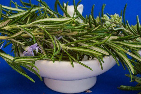 Cómo cultivar romero en macetas
