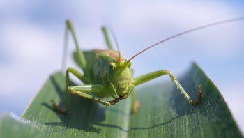 bichos verdes: saltamontes