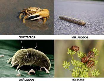 Clases de artrópodos.