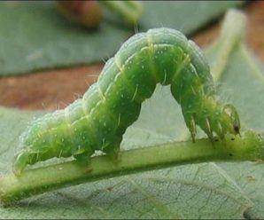 Tengo orugas en mis plantas. ¿Cómo las puedo eliminar?