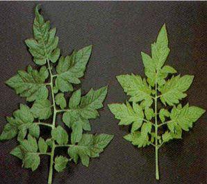 manchas amarillas en las hojas por carencia nutrientes