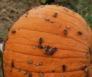 LA CALABAZA | Plagas y enfermedades comunes. Métodos de control.
