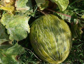 enfermedades en el melón