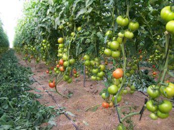podar una tomatera y quitar chupones