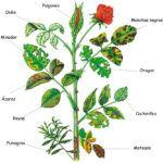 Plagas y enfermedades en los rosales: Cómo prevenir y tratar
