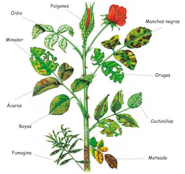 Plagas y enfermedades en los rosales c mo prevenir y tratar for Viveros el rosal