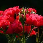 Plagas y enfermedades en los rosales: pulgones, manchas blancas y otros.
