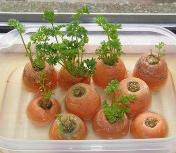 recrecer zanahorias