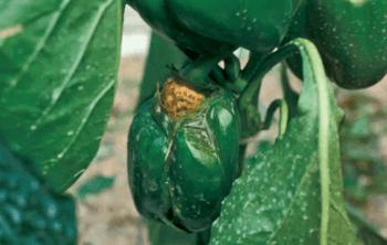 Podredumbre blanda, una de las causas por las que las hortícolas se pudren. (