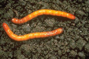 gusano del alambre
