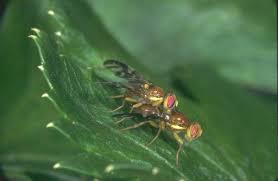 mosca del apio