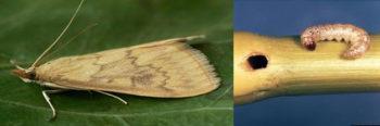plagas y enfermedades del maíz. Taladro