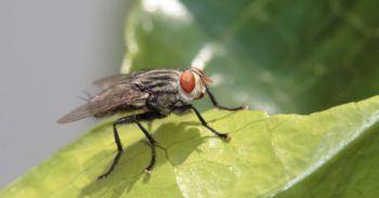mosca de la col
